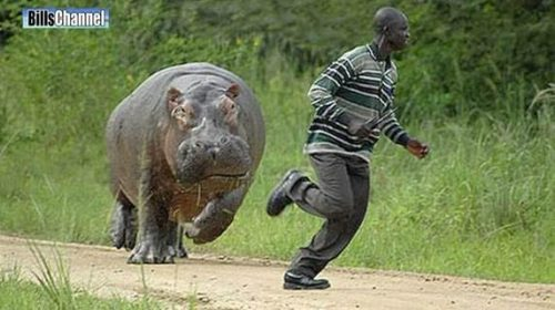 chasing hippo