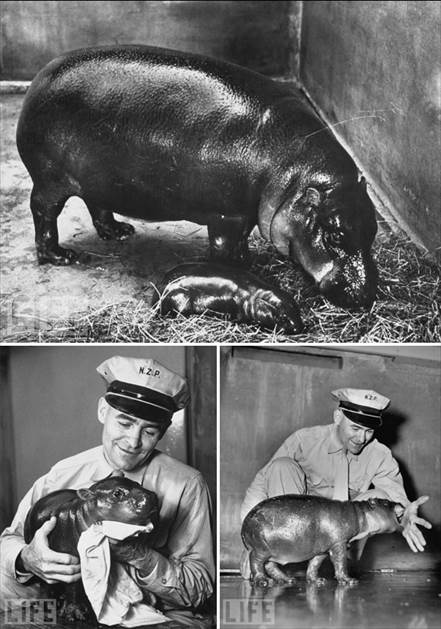 fucking hippo